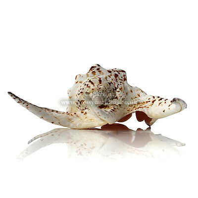 Spider Chiragra Sea shell 17cm for craft projects, aquariums or weddings