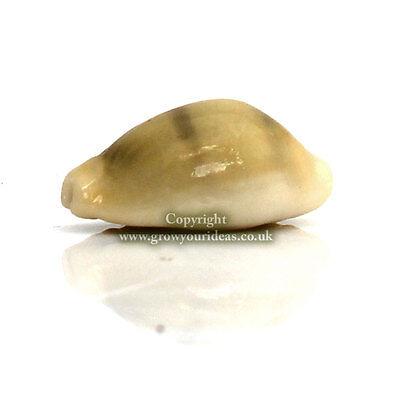 25 x Money Cowrie Cypraea Moneta Craft Seashells 15mm-20mm