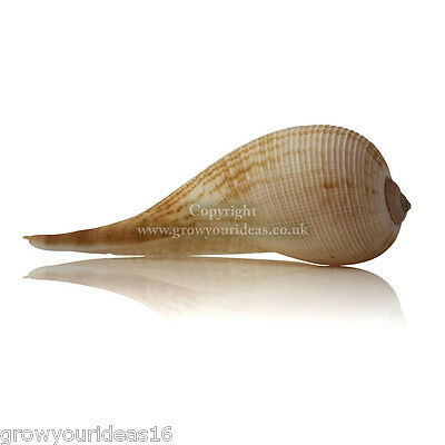Fig Shell Large 7.5cm Beach SeaShell for aquariums, crafts or weddings