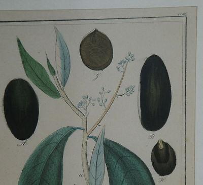 Handkolorierter Kupferstich. Um 1850 Nectandra Puchury major Nees et Mart. 3