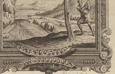 AKAZIE Baum Hülsenfrüchte großer Original Kupferstich um 1730 Botanik Biologie 4