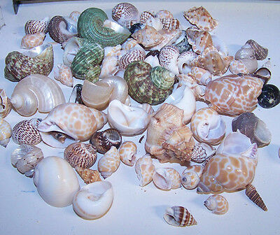10 - ASSORTED  tiny - small Hermit Crab Shells FREE SHIPPING! READ! item # LL10h 4