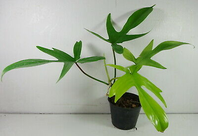 Philodendron Florida Ghost Mint Tropical Indoor House Plant Rare Aroid