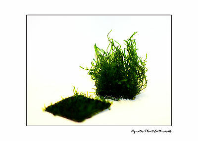 Flame Moss On Wire Mesh EASY AQUARIUM PLANT / Taxiphyllum Sp / Rare X3 PORTIONS 2