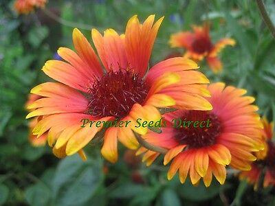 Perennial Flower Gaillardia Aristata Grandiflora Mixed 400 Seeds 3