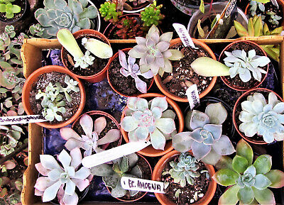 4x unrooted Succulent leaf cuttings
