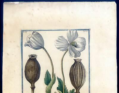 Mohn, Papaver, Bume, Kupferstich G. Bonelli, Hortus Romanus 1772-93 2