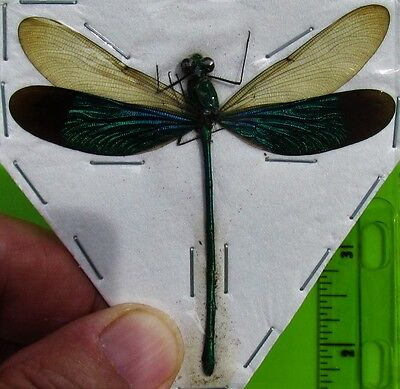 Green Metalwing Damselfly Dragonfly Neurobasis chinensis Male FAST FROM USA