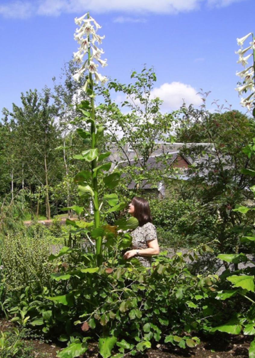 RARE géant de l/'Himalaya Lily Cardiocrinum Specters Yunnan Bulbe Exotique Hardy vivace