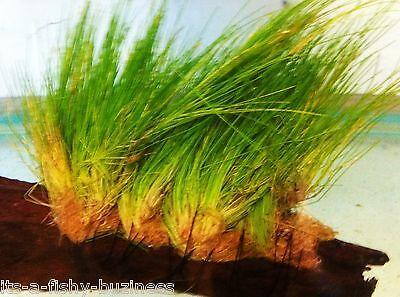 "Hair Grass ""Eleocharis Parvulus"" Growing on Bogwood Live Aquarium Plants 2"