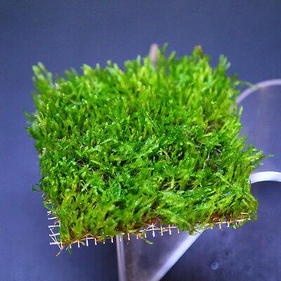 Flame Moss pad Aquarium -Live Plantes kh eau Low Light pour les crevettes 11