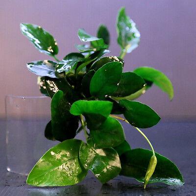 Anubias nana 48 ~ 64 feuilles - plante d'aquarium en direct LUMIERE pl 9