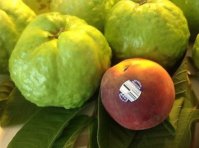 Gigant Indian Sweet White Guava Tree Extremely Rare Fruit Weighs 2 pounds