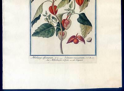 Lampionblume, Physalis alkekengi, Kupferstich G. Bonelli, Hortus Romanus 1772-93 3
