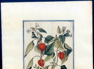 Lampionblume, Physalis alkekengi, Kupferstich G. Bonelli, Hortus Romanus 1772-93 2