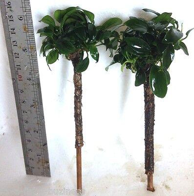 "Anubias Bonsai Palm Tree ""Barteri Nana"" Tropical Live Aquarium Plant jave 3"