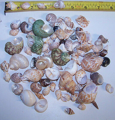 20 - ASSORTED  tiny - small Hermit Crab Shells FREE SHIPPING! READ! item # LL20h 6