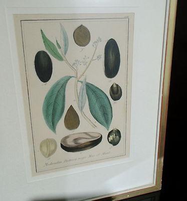 Handkolorierter Kupferstich um 1850 Nectandra Puchury major Nees et Mart