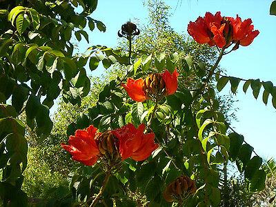 15 Rosso Africani Tulipano Albero Fuoco Albero Semi di Fiori Combsh