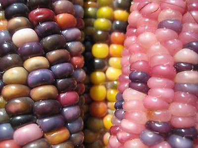 Teparybohne San Pablo Balleza Tepary Bean Saatgut 5+ Samen