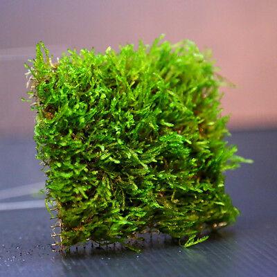 Flame Moss pad Aquarium -Live Plantes kh eau Low Light pour les crevettes 4