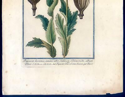 Mohn, Papaver, Bume, Kupferstich G. Bonelli, Hortus Romanus 1772-93 3