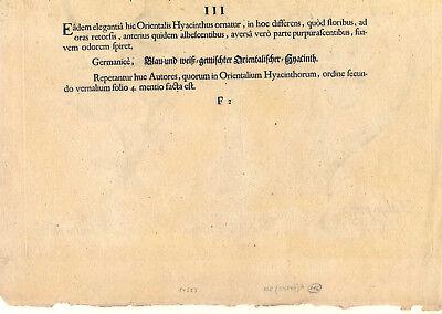Hortus Eystettensis - Hyazinthen - Tulpen - Kupferstich 1613 - Basilius Besler 7