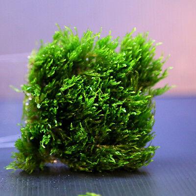 Flame Moss pad Aquarium -Live Plantes kh eau Low Light pour les crevettes 10