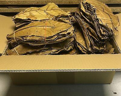 SONDERANGEBOT 1kg Premium Seemandelbaumblätter 20-30cm Terminalia Catappa Leaves 2
