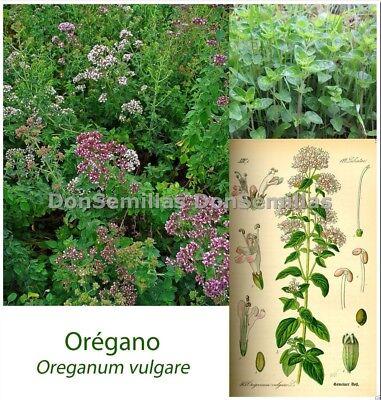 Oregano ( Origanum vulgare )  0,2 gr / 1.800 semillas apróx - seeds - orégano 2