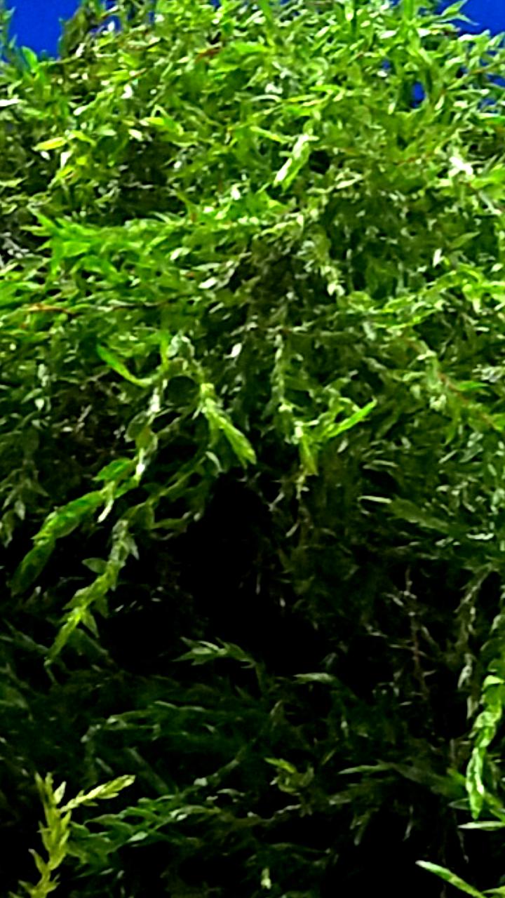 genialer Algenvernichter 10 ltr kanadische Wasserpest