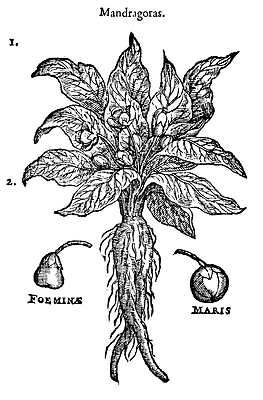 Alraune Mandragora officinalis Zauberpflanze magische Hexenpflanze Mandrake 2
