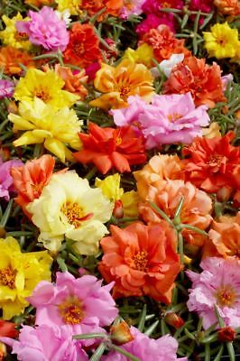 Portulaca Grandiflora Double Mix - Moss Rose - 3500 Finest Seeds 3