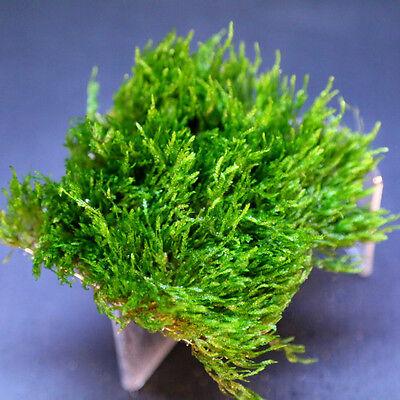 Flame Moss pad Aquarium -Live Plantes kh eau Low Light pour les crevettes 2