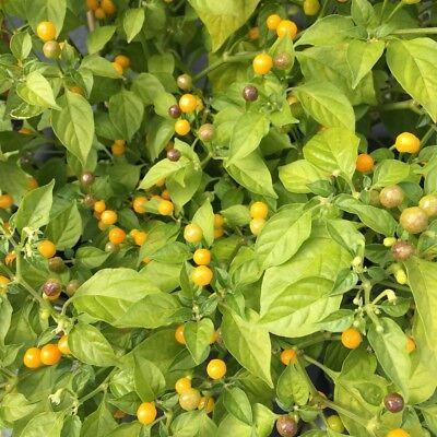 Charapita Chili 🌶 Wildchilli aus Peru 🌶 teuerste Chilli der Welt 🔥 HOT 🔥 4