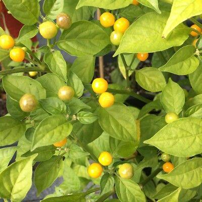 Charapita Chili 🌶 Wildchilli aus Peru 🌶 teuerste Chilli der Welt 🔥 HOT 🔥 3