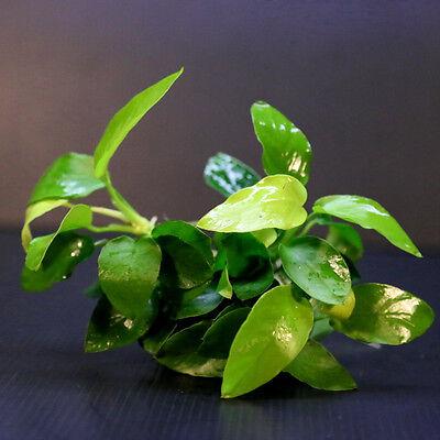 Anubias barteri or 6 rhizomes - plante d'aquarium en direct 3