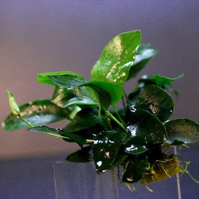 Anubias nana 48 ~ 64 feuilles - plante d'aquarium en direct LUMIERE pl