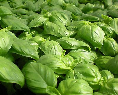 200 Samen Zimt Basilikum - Ocimum basilicum Cinamonette 3