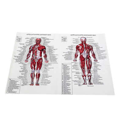 Human Body Muscle Anatomy System Poster Anatomical Chart Educational Poster 9