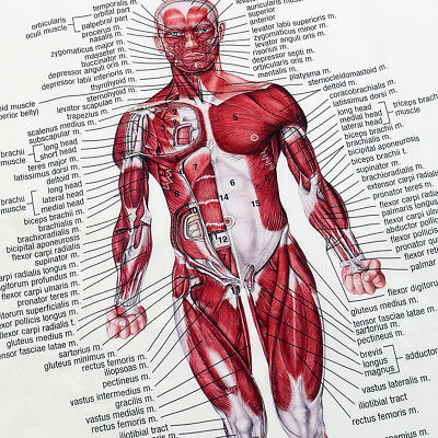 Human Body Muscle Anatomy System Poster Anatomical Chart Educational Poster 12