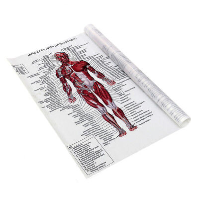 Human Body Muscle Anatomy System Poster Anatomical Chart Educational Poster 10