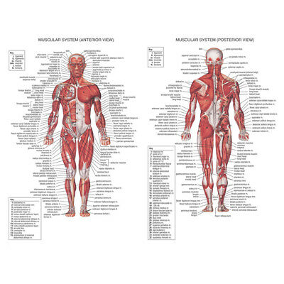 70X50CM Human Body Muscle Anatomy System Anatomical Chart Educational Poster 2