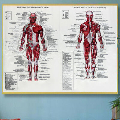 Human Body Muscle Anatomy System Poster Anatomical Chart Educational Poster 2