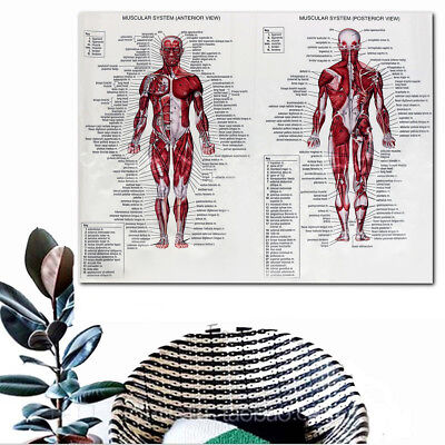Human Body Muscle Anatomy System Poster Anatomical Chart Educational Poster 6