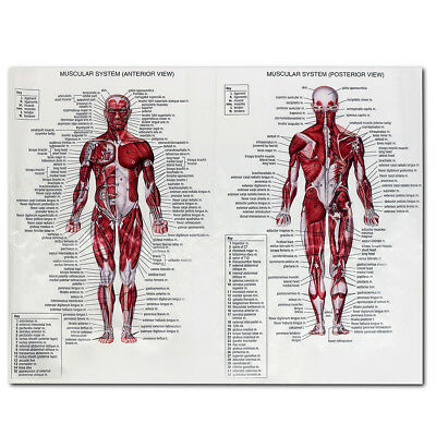 Human Body Muscle Anatomy System Poster Anatomical Chart Educational Poster 7