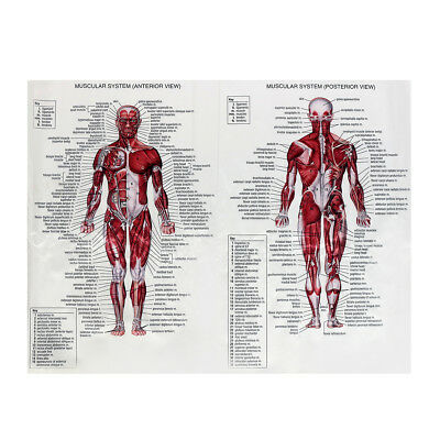 Human Body Muscle Anatomy System Poster Anatomical Chart Educational Poster 8