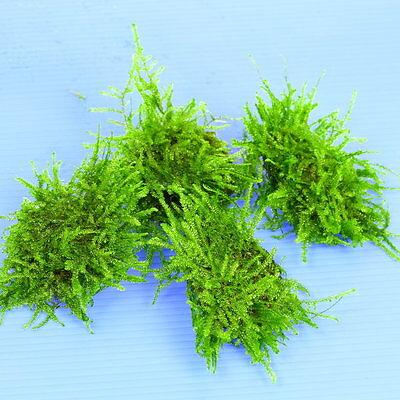 3pcs Java Moss Pad Stone - Aquarium Live Plantes Low Light Tropical