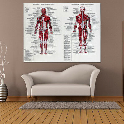 Human Body Muscle Anatomy System Poster Anatomical Chart Educational Poster 5