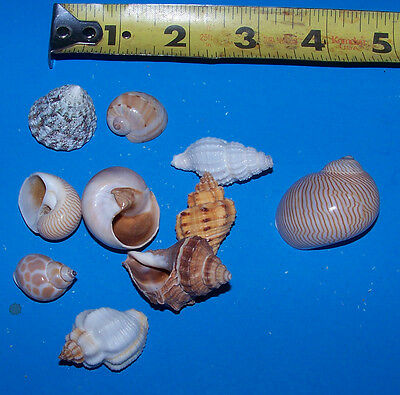 10 - ASSORTED  tiny - small Hermit Crab Shells FREE SHIPPING! READ! item # LL10h 3